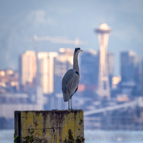 Great Blue Heron gazing at the Space Needle...