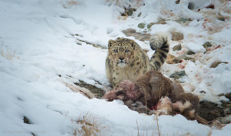 Snow Leopards The Ultimate Adventure