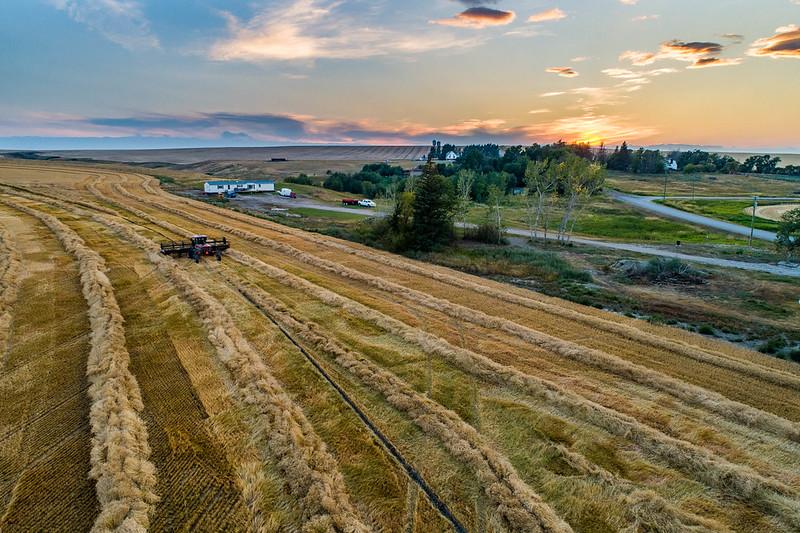 barley 50.jpg
