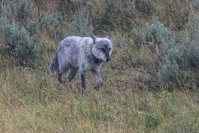 Wolves (Aug 23 Canyon Pack)