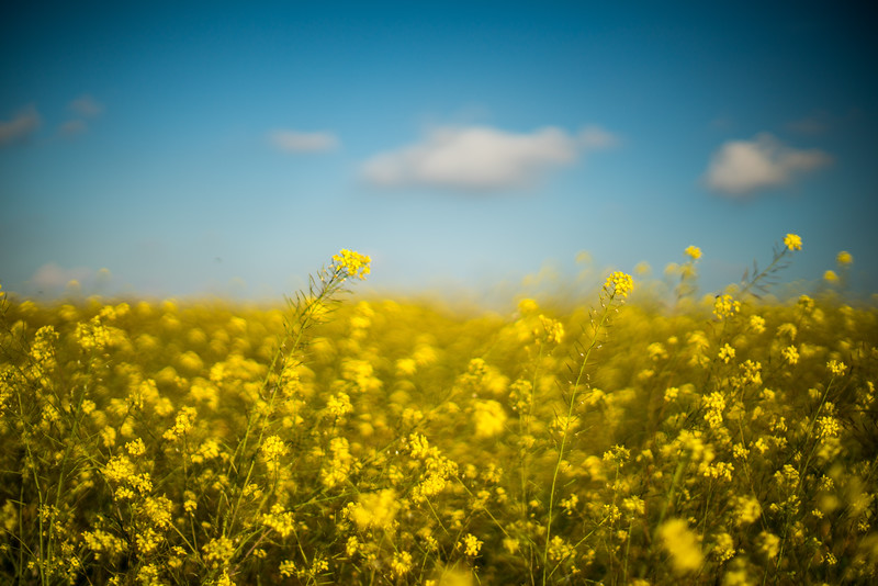 Meadow with hedge mustard flowers, Andalusia, Spain