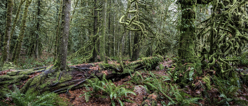 Lynn Canyon_Forest and Nurse Log_HR_1-.jpg