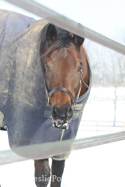 Horse Behind Electric Tape Fence in the Snow