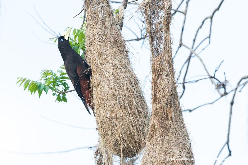 Crested Oropendola - Asa Wright Nature Center, Trinidad