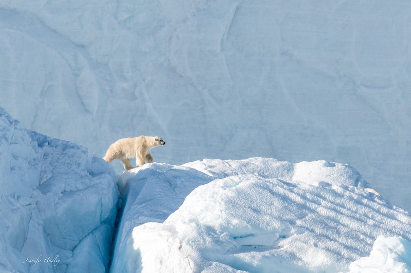 polar bear walking on iceberg.jpg