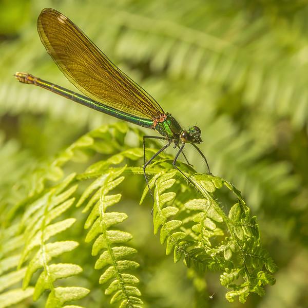 Dragonflies - Libellules