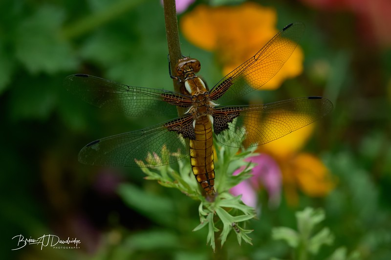 Broad-bodied Chaser-0289_DxO - 2-43 pm.jpg
