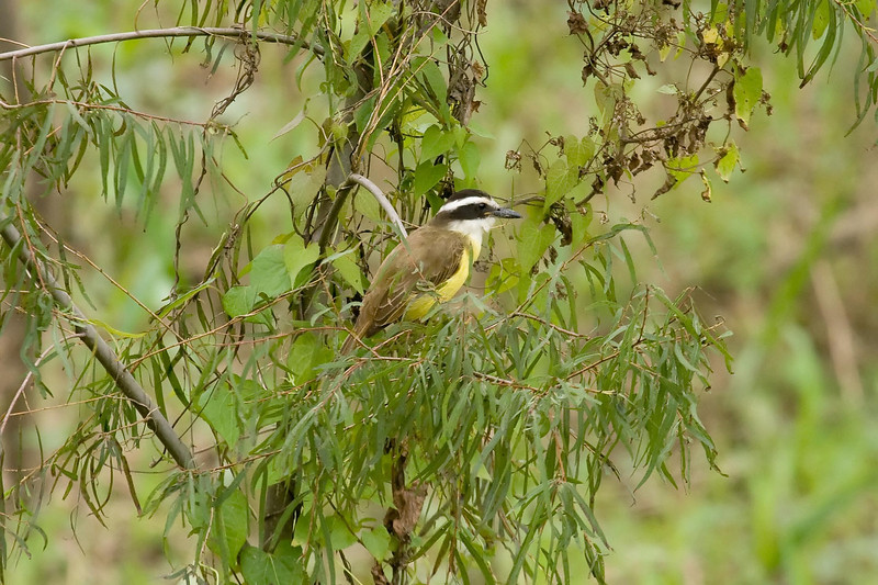 Great Kiskadee juvenile at Macaw Lick near Manu Wildlife Center, Peru (2008-07-10).psd