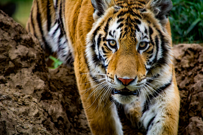 50_TigerAppointment.jpg