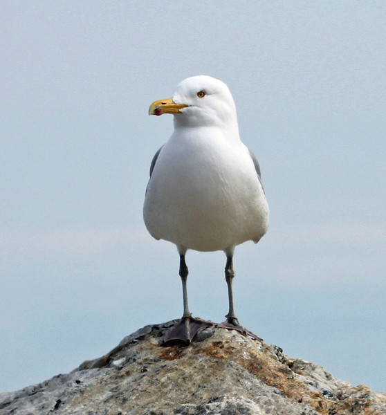 seagull rye.jpg
