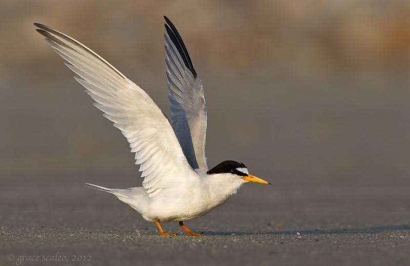 Least Tern Take-off