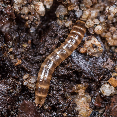 Unidentified beetle larvae