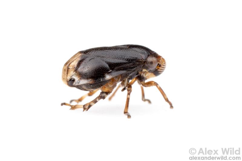 Clastoptera