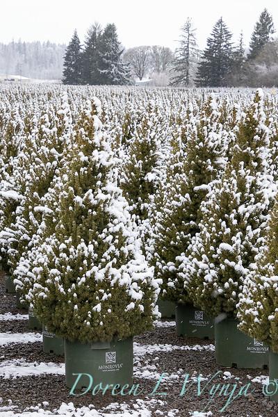 Picea glauca 'Conica' spirals - can yard in snow_4186.jpg
