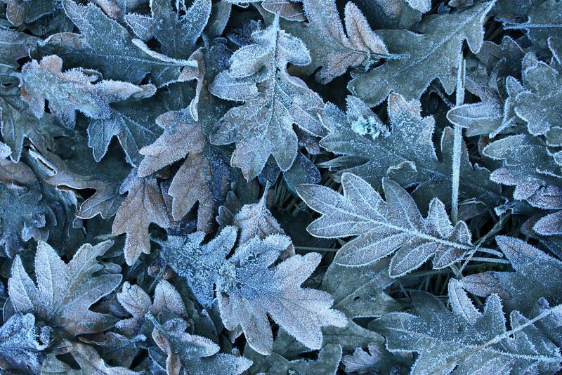 Oregon white oak leaves, Ridgefield National Wildlife Refuge, Washington