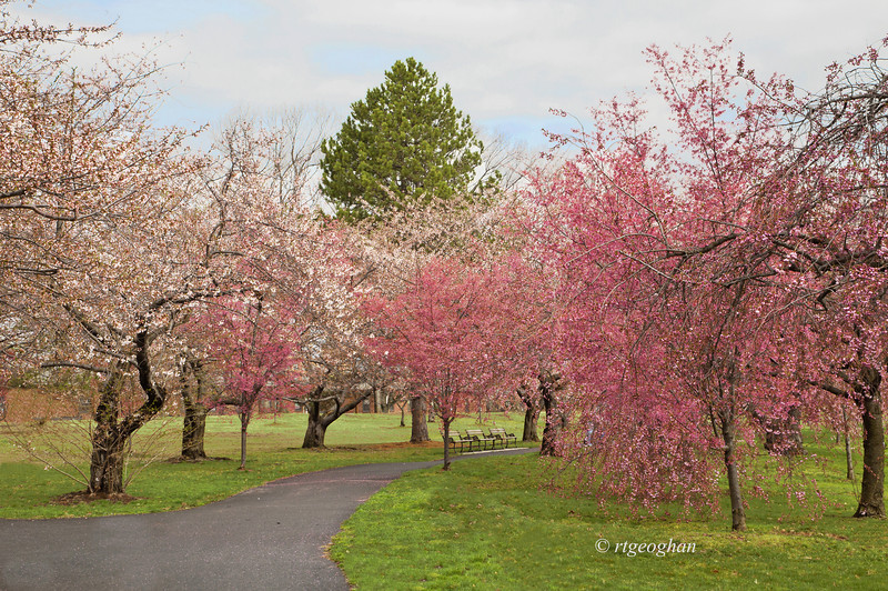 April 13_BranchBrookCherryBlossoms_7854 (1).jpg