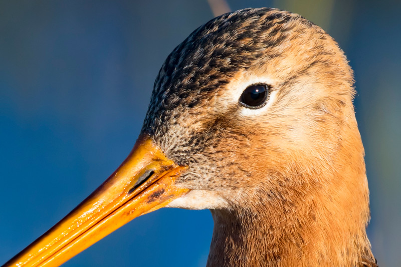 Fugle-KobbersneppeStor-LimosaLimosa-2017-04-30-_67A6199-Danapix.jpg