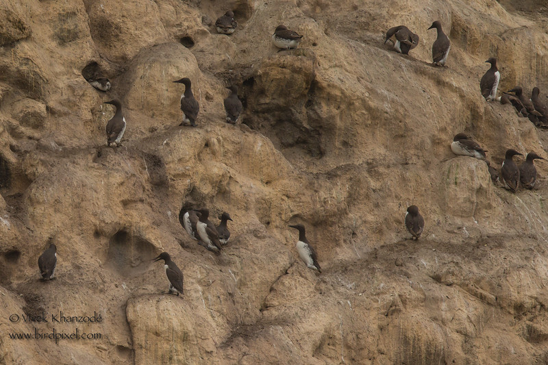 Common Murres nesting - Farallon National Wildlife Refuge, CA, USA