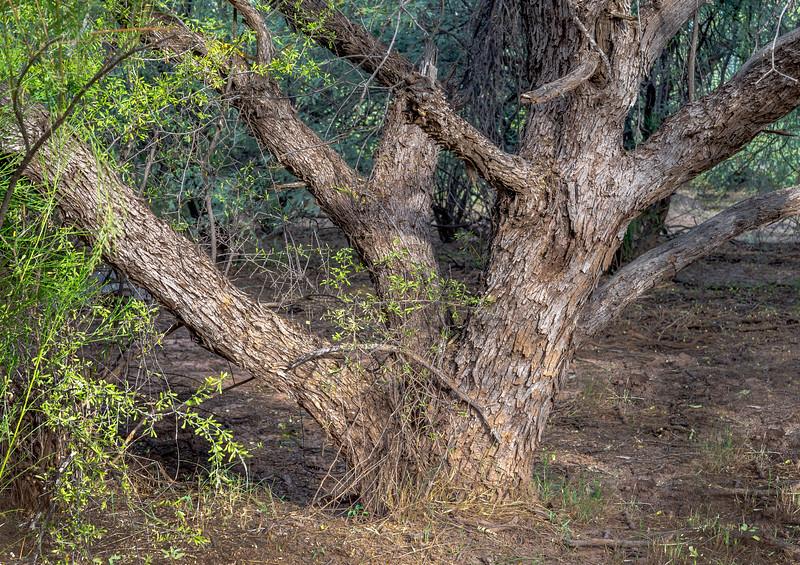 I-11 - Brawley Wash Mesquite Bosque #6
