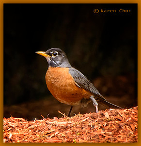 robin dark background sm.jpg