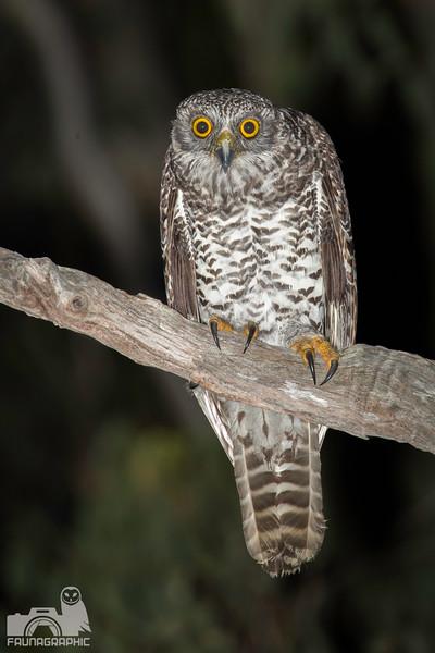 ninox-strenua-juvenile-powerful-owl.jpg