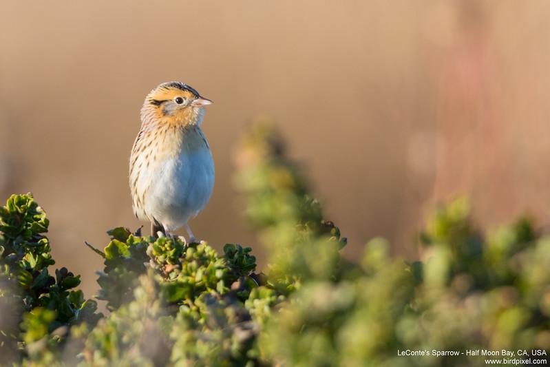 LeConte's Sparrow - Half Moon Bay, CA, USA