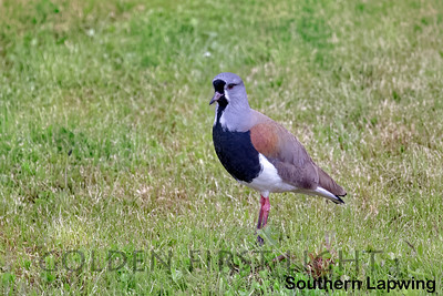 Southern Lapwing, Puerto Natales, Chile