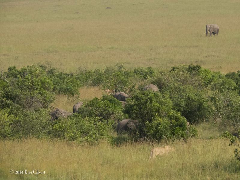 Lions Masai Mara - K-4.jpg