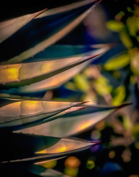 Yucca Cactus, Baja California