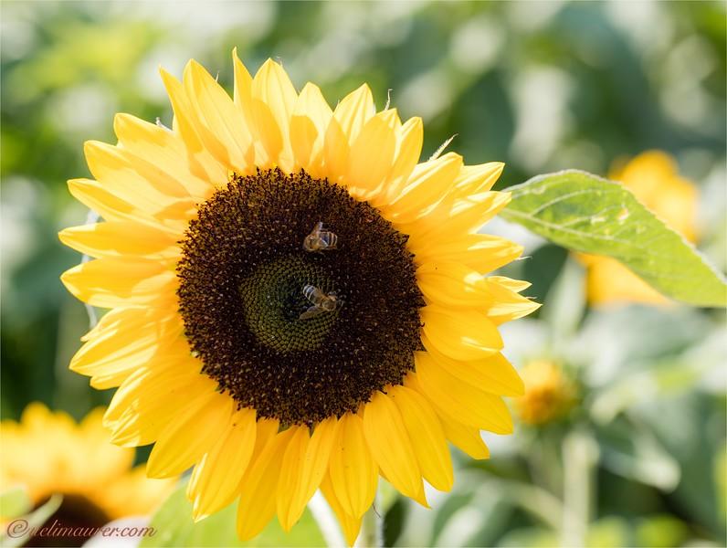 Blumen zum Selberschneiden - 2015-08-13- 0U5A1466.jpg
