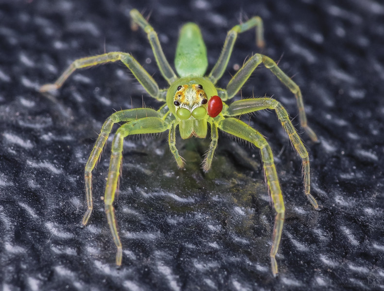 Magnolia green jumping spider with mite