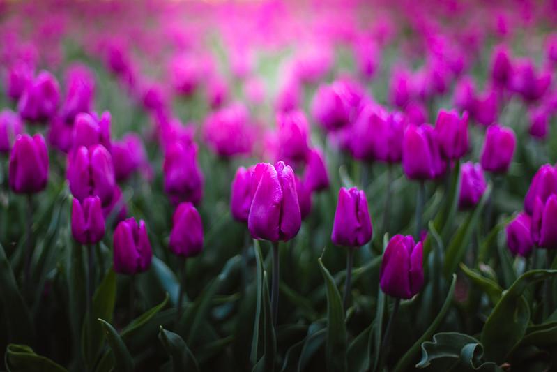 Tulips2017-153-8.jpg