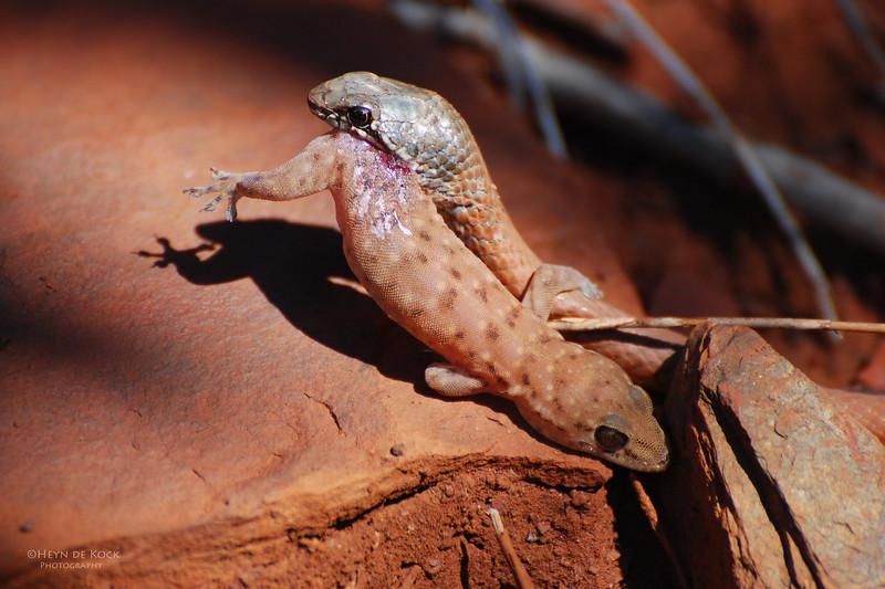 Brown Snake and Gecko, Karajini NP, WA, Sept 2008.jpg