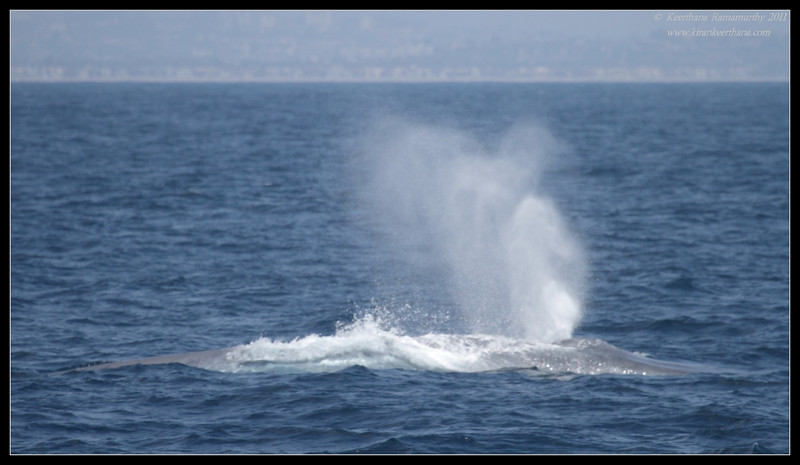 Blue Whale spout, Whale watching trip, San Diego County, California, July 2011