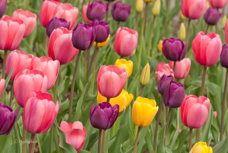 Tulip Garden_April 20_1876.jpg