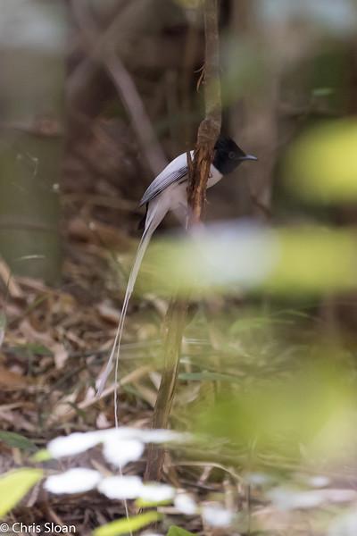 Asian Paradise-Flycatcher white male at Jungle Hut, Masanagudi, Mudumulai, India (02-25-2015) 057-268.jpg
