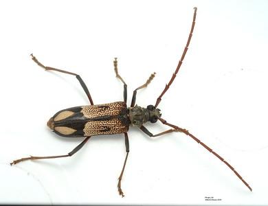 Phoracantha cf. laetabilis  (Cerambycinae)