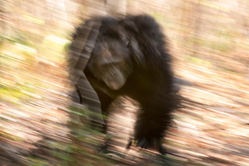 Charging chimp