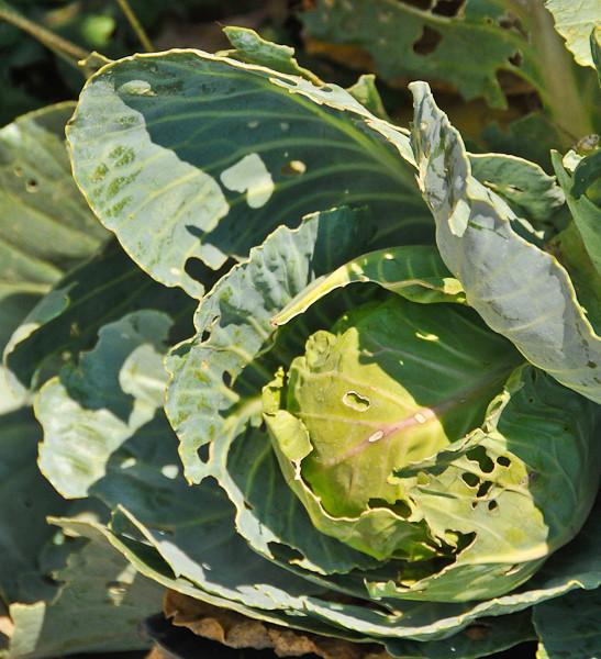 10 09-07  Marlene takes pride in the vegetables she grows. mlj