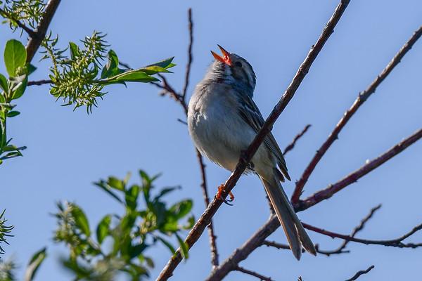 6-6-17 Clay-Coloured Sparrow