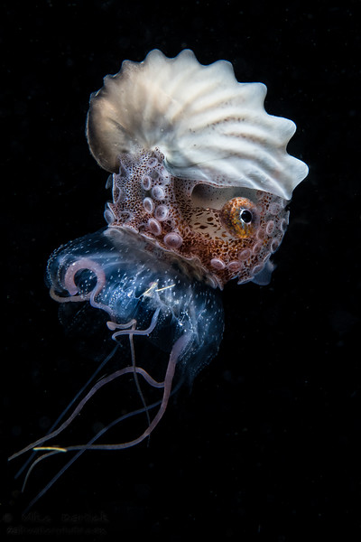Nautilus and jellyfish (1 of 1).jpg