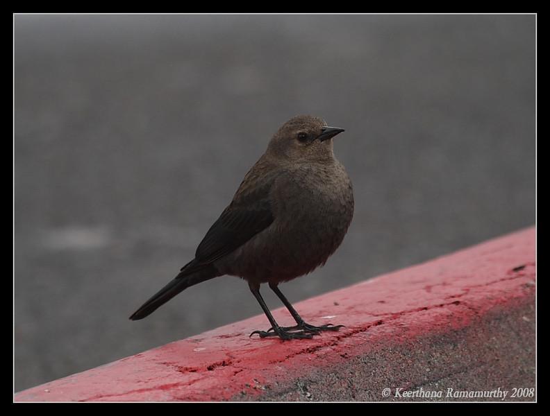 Brewer's Blackbird Female, Lake Murray, San Diego County, California, December 2008
