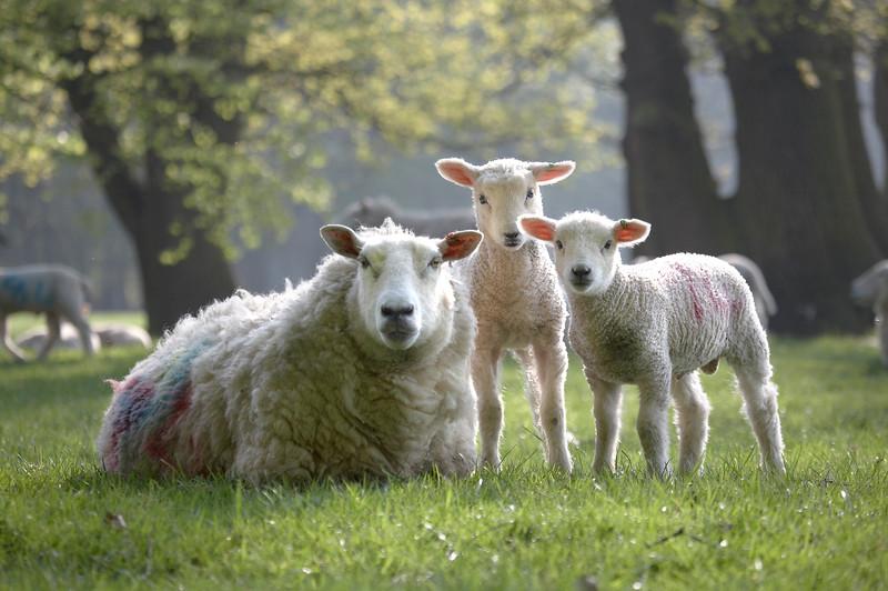 Sheep - 8153.jpg