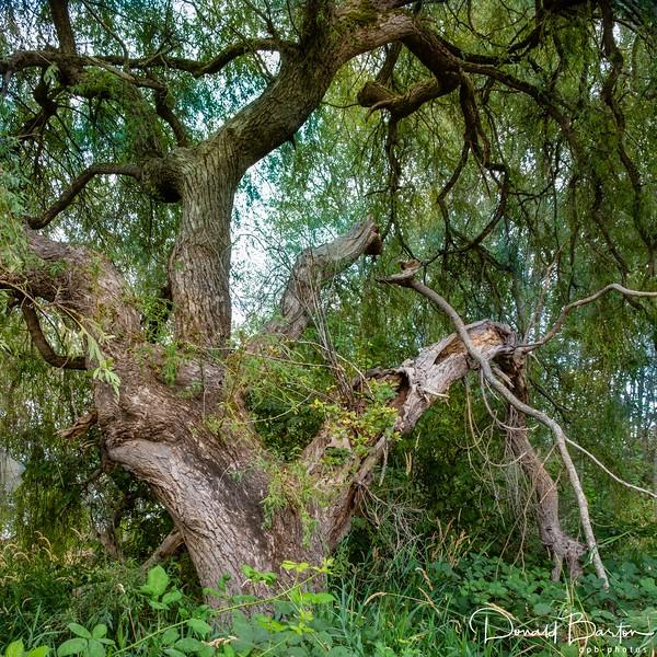 Black Willow