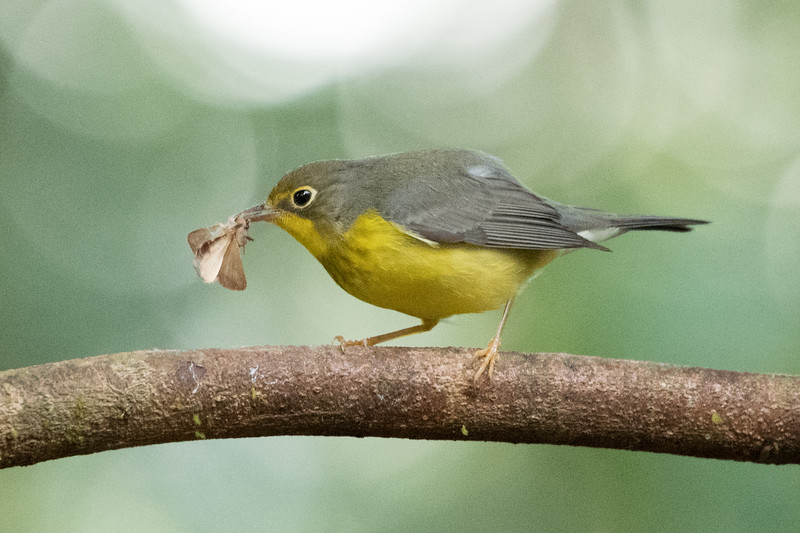 Canada Warbler with Moth