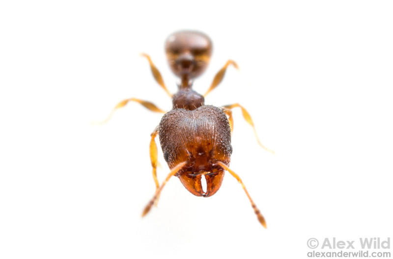 Pheidole metallescens