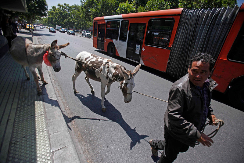 . In this Dec. 15, 2014 photo, Ricardo Alegria leads his donkeys past a public bus as he searches for customers to sell fresh milk in Santiago, Chile. Ricardo Alegria is a different sort of milk man. For a quarter century or more, he and his brother Marco have led donkeys through the streets of Chile�s capital, milking them on the spot for customers. (AP Photo/Luis Hidalgo)