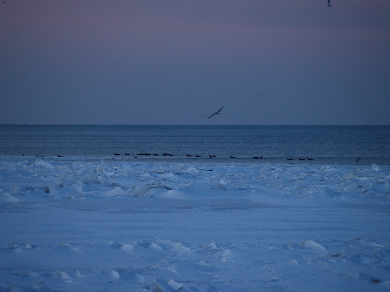Lake gulls and Canadian geese on Lake Erie (2010)
