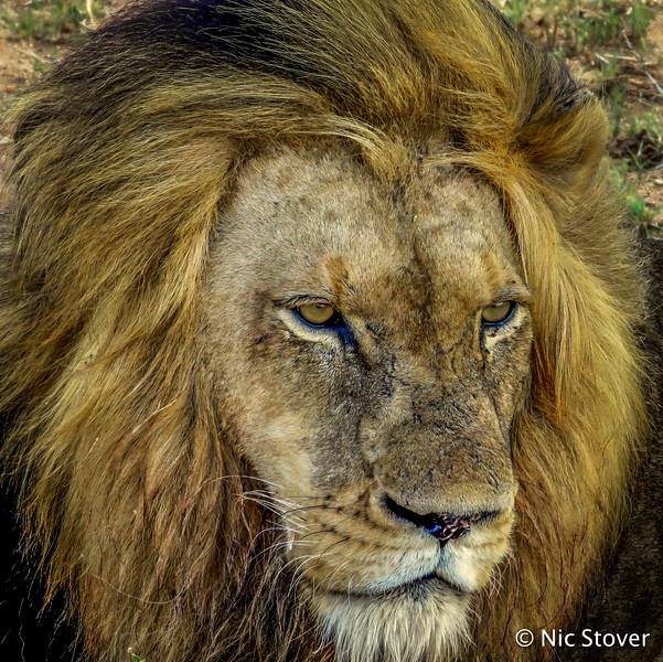 SA-King of Plains.jpg