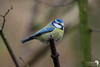 Blue Tit in the Woods